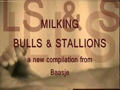Milking bulls and stallions